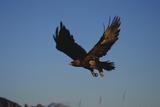 Golden Eagle Fotografie-Druck von W. Perry Conway