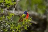 Painted Bunting Perching on Twig Reproduction photographique par Gary Carter
