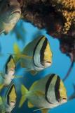 Porkfish (Anisotremus Virginicus) Photographic Print by Stephen Frink