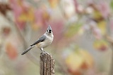 Tufted Titmouse Reproduction photographique par Gary Carter