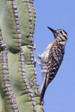 Ladder-Backed Woodpecker Photographic Print by Hal Beral