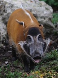 Red River Hog Photographic Print by Robert Dowling