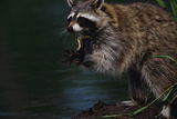 Raccoon Eating a Leopard Frog Fotografisk tryk af W. Perry Conway