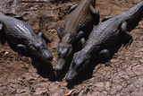 Black Caimans Sunbathing Photographic Print by W. Perry Conway