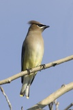 Cedar Waxwing Photographic Print by Hal Beral