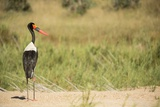 Saddle Billed Stork Photographic Print by Michele Westmorland