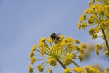 Bee on Flower Photographic Print by Joanna Jackson