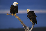 Bald Eagles Perching Photographic Print by W. Perry Conway