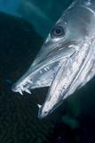 Great Baracuda (Sphyraena Barracuda) Photographic Print by Stephen Frink
