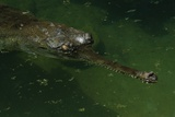 Gavial at a Gator Farm Photographic Print by W. Perry Conway
