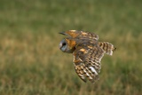 Barn Owl in Flight Photographic Print by W. Perry Conway