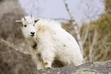 Mountain Goat Kid Photographic Print by Hal Beral