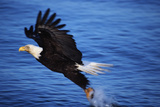 Bald Eagle Grabbing a Fish Photographic Print by W. Perry Conway