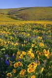 Wildflowers along Hillside, Columbia River Gorge National Scenic Area, Oregon Photographic Print by Craig Tuttle