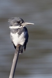 Belted Kingfisher Photographic Print by Hal Beral