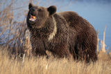 Grizzly Bear Eating Apple Photographic Print by W. Perry Conway
