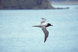Light Mantled Sooty Albatross in Flight Photographic Print by W. Perry Conway