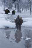 Bison Standing along a Stream in Winter Fotografisk trykk av W. Perry Conway