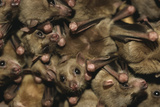 Egyptian Fruit Bats Photographic Print by W. Perry Conway