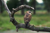 Female Swainson's Hawk on Snag Photographic Print by W. Perry Conway