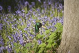 Duck in Bluebells Photographic Print by Joanna Jackson