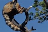 Ringtail Sitting in Pine Tree Fotografisk tryk af W. Perry Conway