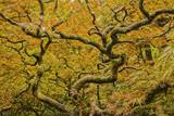 Autumn Color with a New Twisted Vine Maple Photographic Print by Terry Eggers