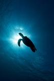 Hawksbill Turtle (Eretmochelys Imbricata) Fotografie-Druck von Stephen Frink