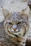 Bobcat Closeup Photographic Print by Hal Beral