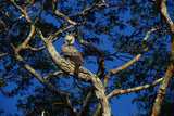 Young Harpy Eagle Perched in Tree Photographic Print by W. Perry Conway