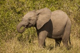 Elephant Calf, South Africa Photographic Print by Michele Westmorland