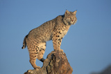Bobcat Perched on Rocky Outcrop Photographic Print by W. Perry Conway