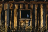 Barn Owl in Barn Window Photographic Print by W. Perry Conway