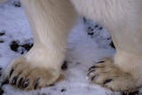 Feet of Polar Bear Photographic Print by W. Perry Conway