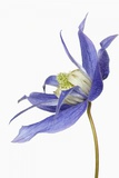 Clematis Photographic Print by Frank Krahmer
