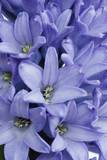 Garden Hyacinth Photographic Print by Frank Krahmer