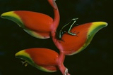 Poison Dart Frog on Haliconia Flower Photographic Print by W. Perry Conway