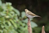 Hermit Thrush Papier Photo par Gary Carter