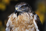 Ferruginous Hawk Photographic Print by W. Perry Conway