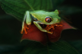 Red-Eyed Tree Frog Photographic Print by W. Perry Conway