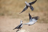 Cape Turtle Doves, South Africa Photographic Print by Richard Du Toit