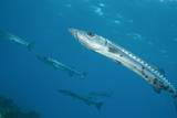 Great Barracuda (Sphyraena Barracuda) Photographic Print by Stephen Frink