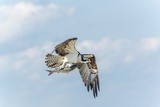 Osprey Photographic Print by Gary Carter