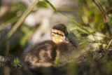 Duckling in Undergrowth Photographic Print by Joanna Jackson