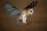 Barn Owl Landing Photographic Print by W. Perry Conway