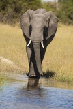 African Bush Elephant Photographic Print by Michele Westmorland
