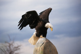Bald Eagle Lands with Outstretched Wings Photographic Print by W. Perry Conway