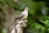 Mourning Dove Reproduction photographique par Gary Carter