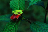 Red Eyed Tree Frog on a Rain Forest Flower Photographic Print by W. Perry Conway