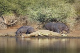 Crocodiles and Hippos, South Africa Impressão fotográfica por Richard Du Toit